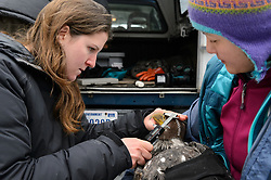 """Rachel Wheat, a graduate student at the University of California Santa Cruz uses calipers to take length and depth measurements of the beak of a bald eagle (Haliaeetus leucocephalus) captured in the Alaska Chilkat Bald Eagle Preserve. In this photo she is determining the beak depth. Beak measurements and toe claw (hallux) length are two measurements that help determine the gender of a bald eagle. Female bald eagles typically have larger beaks, feet and talons. This reversal of gender size is called reverse sexual size dimorphism. Wheat is conducting a bald eagle migration study of eagles that visit the Chilkat River for her doctoral dissertation. She hopes to learn how closely eagles track salmon availability across time and space. The bald eagles are being tracked using solar-powered GPS satellite transmitters (also known as a PTT - platform transmitter terminal) that attach to the backs of the eagles using a lightweight harness. Assisting Wheat with the measurements by holding the eagle is Yiwei Wang, graduate student, University of California Santa Cruz. The latest tracking location data of this bald eagle known as """"2Z"""" can be found here: http://www.ecologyalaska.com/eagle-tracker/2z/ . During late fall, bald eagles congregate along the Chilkat River to feed on salmon. This gathering of bald eagles in the Alaska Chilkat Bald Eagle Preserve is believed to be one of the largest gatherings of bald eagles in the world."""