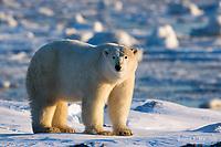 Polar bear, Nunavut, Canada