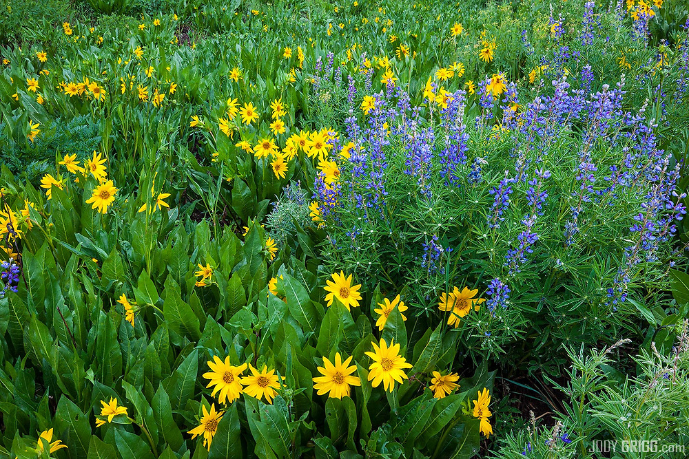 Spring wildflowers in the Ruby Range