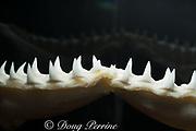 lower jaw and teeth of sandbar shark (2.08m specimen), Carcharhinus plumbeus