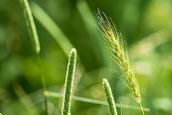 Timothy Grass and wild Rye grass