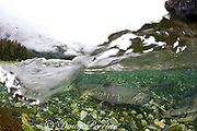 chum salmon, dog salmon, silverbrite salmon, or keta salmon, Oncorhynchus keta, in spawning stream, Bear Trap, Port Gravina, Alaska, USA ( Prince William Sound )