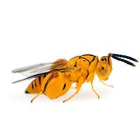 Hymenoptera - ants, bees, wasps