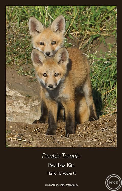 Two Red Fox Kits explore outside the den near Bozeman, Montana.