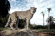 Ruuxa the Cheetah stands on a perch in an enclosure at the San Diego Zoo Safari Park in Escondido, California on Tuesday, January 20, 2015.