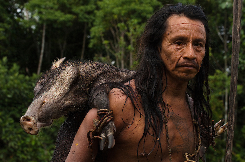 Huaorani Indian, Eweginto Tega carrying home a White-lipped peccary that he hunted with his lance. The lances are made from a palm trunk.<br /> Bameno Community. Yasuni National Park.<br /> Amazon rainforest, ECUADOR.  South America<br /> This Indian tribe were basically uncontacted until 1956 when missionaries from the Summer Institute of Linguistics made contact with them. However there are still some groups from the tribe that remain uncontacted.  They are known as the Tagaeri & Taromenane. Traditionally these Indians were very hostile and killed many people who tried to enter into their territory. Their territory is in the Yasuni National Park which is now also being exploited for oil.