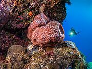 Giant barrel sponge at Gabriella's Fish Point, Tufi, Papua New Guinea