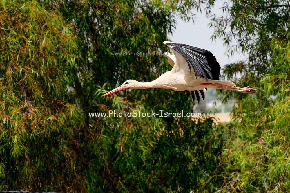 White Stork (Ciconia ciconia) In flight. Photographed in Israel in June