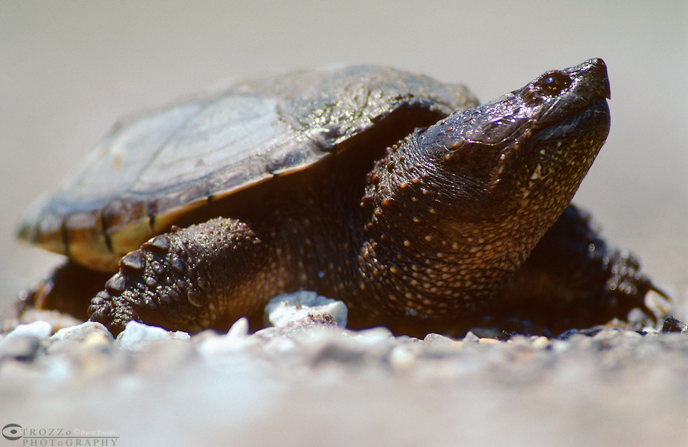 Snapping Turtle (Chelydra serpentina), more formally referred to as the Common Snapping Turtle.