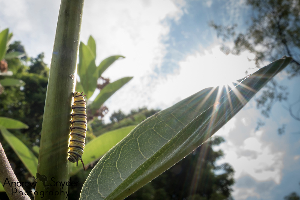 A monarch caterpillar (Danaus plexippus) on a milkweed plant (Asclepias sp.). Owings Mills-Maryland.