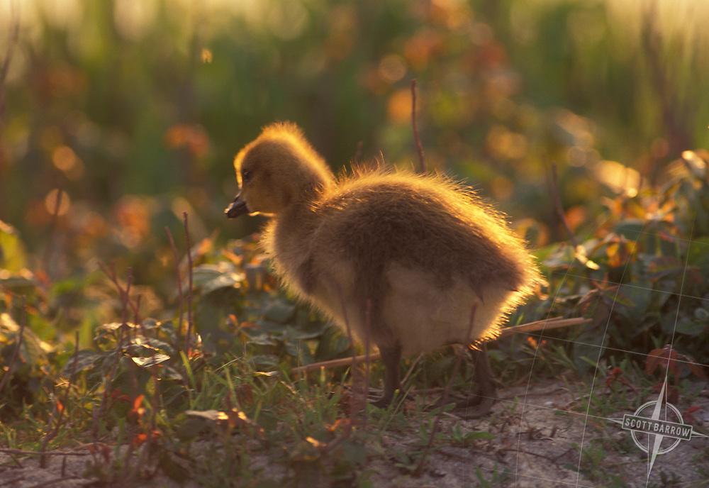 Canada Goose Chick, NJ3