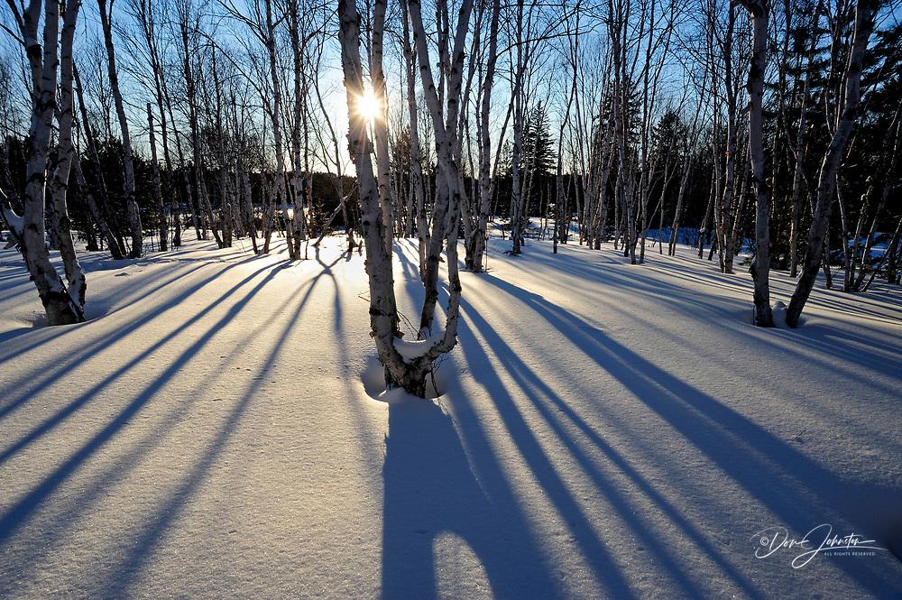 Tree shadows on snow with birch tree trunks, Greater Sudbury/Lively, Ontario, Canada