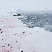 Blood stained snow around an open lead where a bearded seal has had her pup. The pup waits for the mother at the ice edge. Snow is littered with scattered pieces of fur possibly from molting.Beaufort Sea, Alaska.