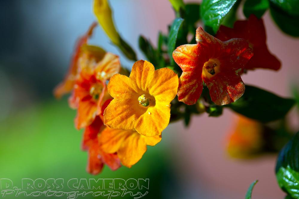 "Streptosolen jamesonii (""Marmelade bush"") blooms in an Oakland, Calif. garden, Friday, April 12, 2019. (Photo by D. Ross Cameron)"