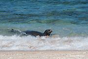 Hawaiian monk seal, Monachus schauinslandi, Critically Endangered endemic species, female in surf at beach on west end of Molokai, Hawaii ( Central Pacific Ocean )
