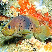 Slope Soapfish inhabit deep slopes and walls in Tropical West Atlantic; picture taken Venezuela.