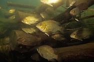 Rock Bass<br /> <br /> ENGBRETSON UNDERWATER PHOTO