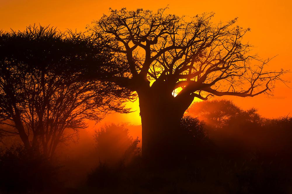 Baobab tree at sunset, Tarangire National Park, Tanzania