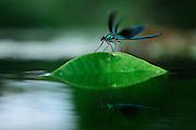 A male Banded Demoiselle (Calopteryx splendens) rests on a water-lily leaf; Eider, Kiel, Germany | Gebänderte Prachtlibelle; Das Männchen einer Gebänderten Prachtlibelle (Calopteryx splendens) sitzt auf einem Blatt der Teichrose. Eider, Kiel, Deutschland