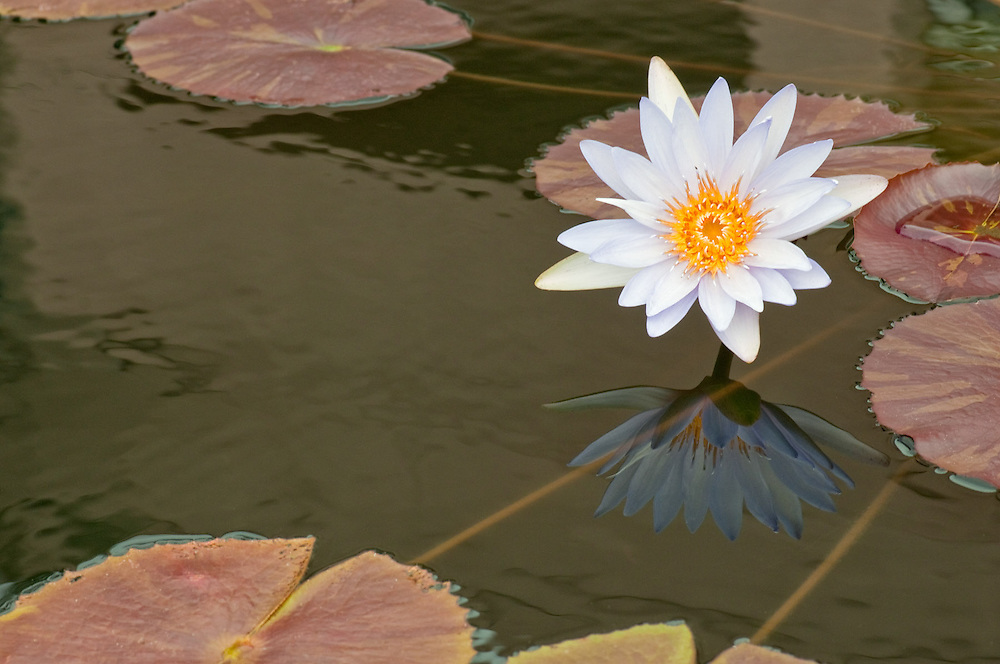 Waterlily Reflected