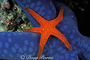 sea star,<br /> Fromia indica, <br /> Great Barrier Reef, Australia,<br /> ( Western Pacific Ocean )