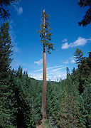 The Henry Tree, near Boonville, California, is a coastal redwood known as an outlaw tree, a first growth tree that for various reasons was never cut because falling it would reduce it to splinters.