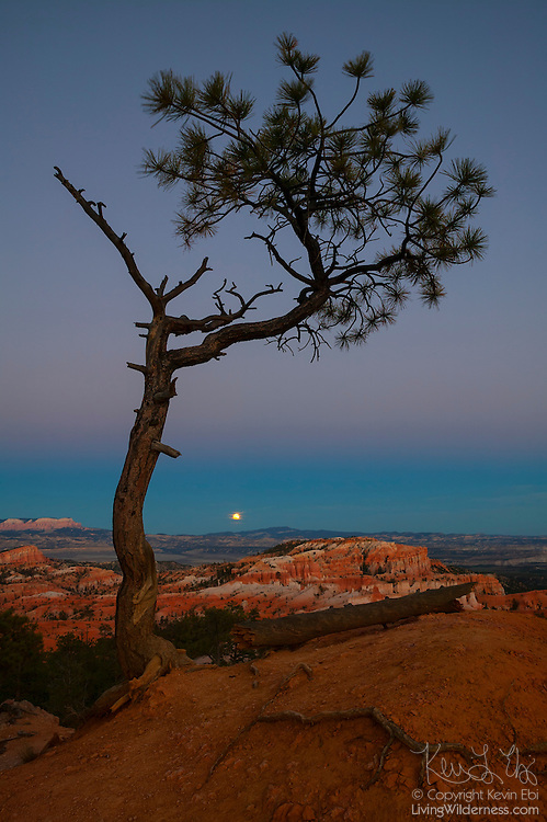 A pinyon pine (Pinus edulis) tree frames this view of the full moon rising over Bryce Canyon National Park in Utah.