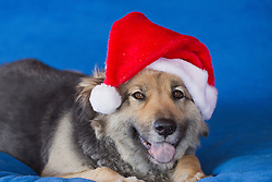 beautiful dog with a Santa hat