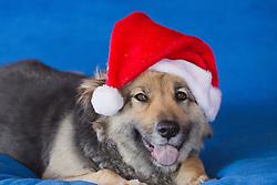beautiful dog with a Santa hat