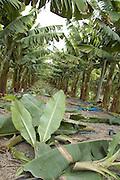 Israel, Jordan Valley, Kibbutz Masada The banana plantation Cutting the low shoots to strengthen the main stem and increase production