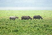 black rhinoceros (Diceros bicornis) Photographed in Tanzania