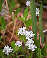 White Allium flowers. Image taken with a Leica TL-2 camera and 55-135 mm lens.