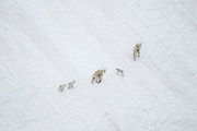 Mountains goats crossing a permanent snowfield in the Beartooth Mountains of Wyoming