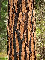 Ponerdosa Pine (Pinus ponderosa) bark detail, Wenatchee National Forest Washington USA