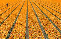 DE ZILK - bollenkweker tussen zijn tulpen  op het bollenveld. ANP COPYRIGHT KOEN SUYK