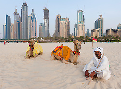 Camels on beach at Jumeirah Beach resort district with high rise buildings to rear in Dubai, United Arab Emirates,UAE