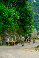 Herding sheep and goats, Manali, Himachal Pradesh, India.