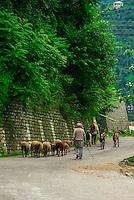 Herding sheep and goats, Manali, Himachal Pradesh, India.