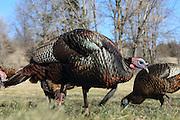 Eastern wild turkeys displaying and strutting during spring mating season.