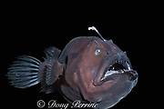 deep sea anglerfish, angler fish, or black seadevil, Diceratias pileatus (c), uses bioluminescent lure to attract prey in the deep ocean; brought up from a depth of 3,300 feet (1000m) in a water intake pipe at Natural Energy Lab of Hawaii (NELHA), Keahole, Kona, Hawaii ( the Big Island ), USA