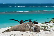 endemic Hawaiian monk seal, Neomonachus schauinslandi ( Critically Endangered Species ), resting on beach while shedding skin and fur during annual molt or moult, black-footed albatrosses, Phoebastria nigripes, in background, East Island, French Frigate Shoals, Papahanaumokuakea Marine National Monument, Northwest Hawaiian Islands, USA ( Central Pacific Ocean )