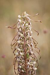 Lizard Orchid. Himantoglossum hircinum