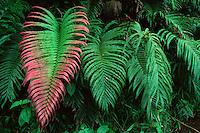 Fern (Blechnum orientale) growing in the rain forest of Taveuni Island, Fiji.