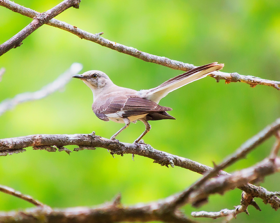 The Northern Mockingbird is the only mockingbird commonly found in North America. Northern Mockingbirds are medium-sized mimids that have long legs and tails, with abridged and arched wings.