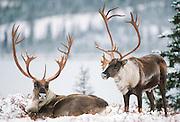 Alaska, Alaska Range. Bull caribou with big antlers in early winter snow.