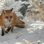 Red Fox (Vulpus fulva) in the snow during winter in Montana. Captive Animal