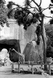 Giraffes roam their paddock at the Parc Zoologique de Paris in the Bois de Vincennes, Tuesday, June 10, 1984, in Paris. (Photo by D. Ross Cameron)