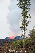 a native ohia lehua tree (connected by legend to the Hawaiian Fire Goddess Pele ) and some ferns and other vegetation remain standing near Pohoiki Road next to a lava flow erupting from fissure 8 of the Kilauea Volcano east rift zone, visible in the background as it fountains within a 50m high cinder cone it has built around itself in Leilani Estates subdivision, near Pahoa, Puna District, Hawaii Island ( the Big Island ), Hawaiian Islands, U.S.A.