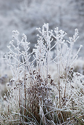 Hoar frost on seedheads in a field in Gloucestershire
