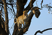 Leopard ((Panthera pardus) Female in tree<br /> Moremi Game Reserve, Okavango Delta<br /> BOTSWANA<br /> RANGE: Sub-Saharan Africa. Fragmented populations in Pakistan, India, Sri Lanka, Indochina, Malaysia, and China.<br /> IUCN: Near Threatened